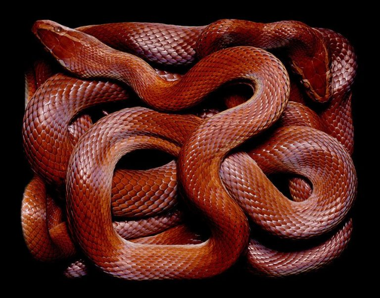 змея красная
