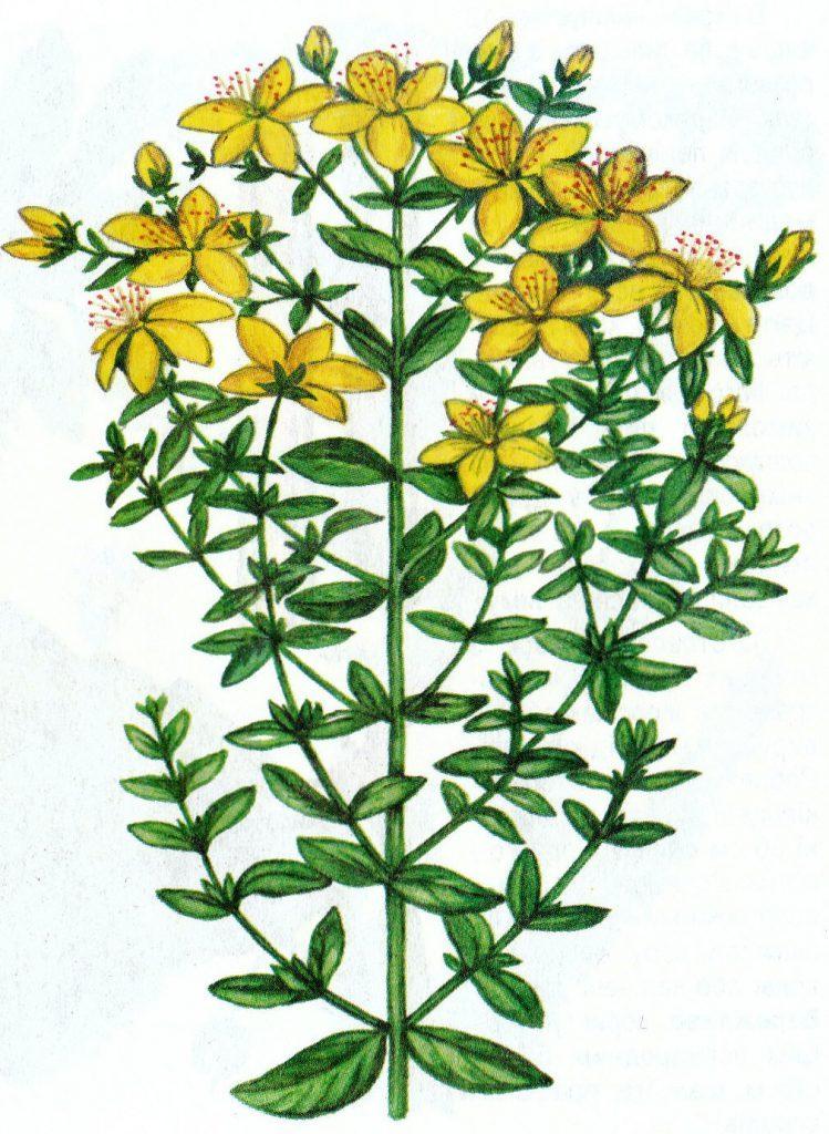 гербарий