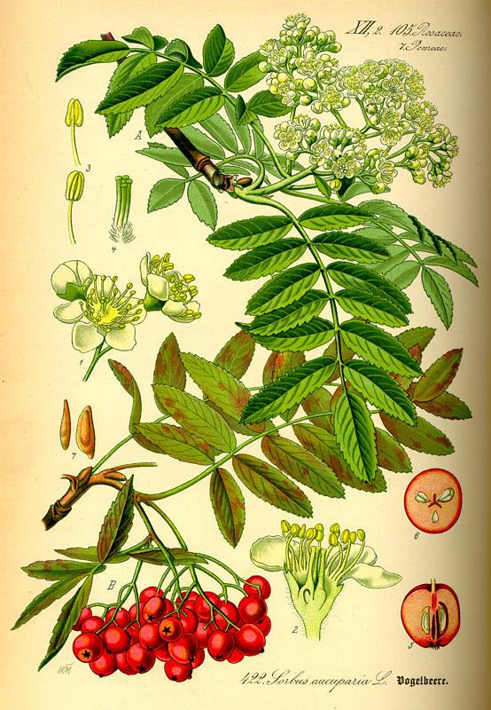 рябина гербарий