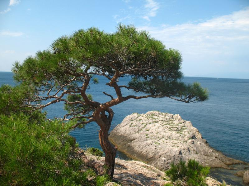 сосна магия дерева